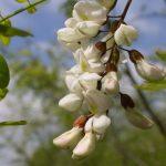 Fehér akác virága.