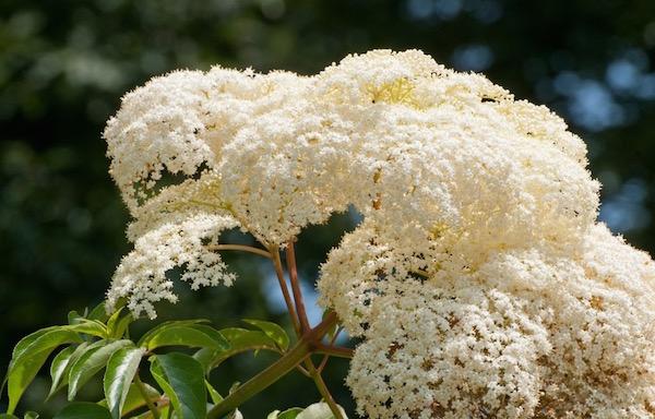 Gyönyörű, szép, nagy fehér bodzavirág a napsütésben.