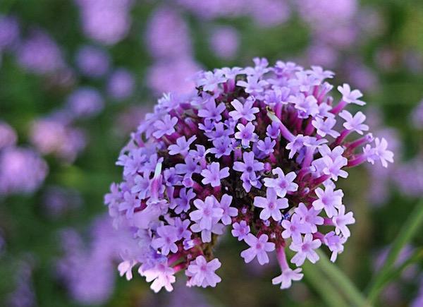Vasfű (Verbena officinalis) lila virága.
