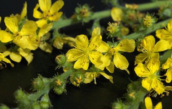 Apróbojtorján sárga virágai.