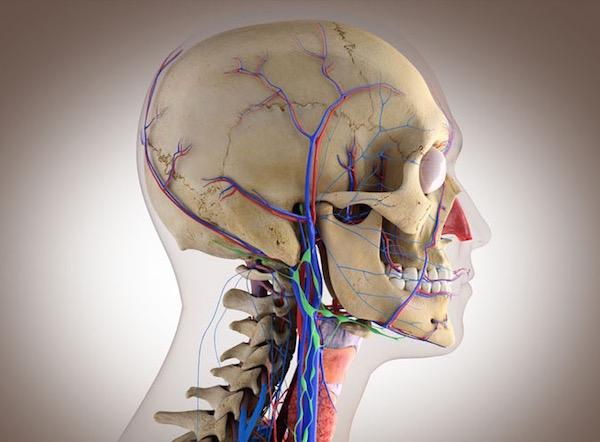 Az arcot behálózó idegek egy koponya sematikus rajzán.