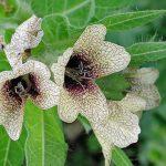 Bolondító beléndek (Hyoscyamus niger) barna erezettel ellátott díszes virágai és szőrös levelei.