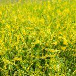 Az illatos orvosi somkóró gyógyhatásai