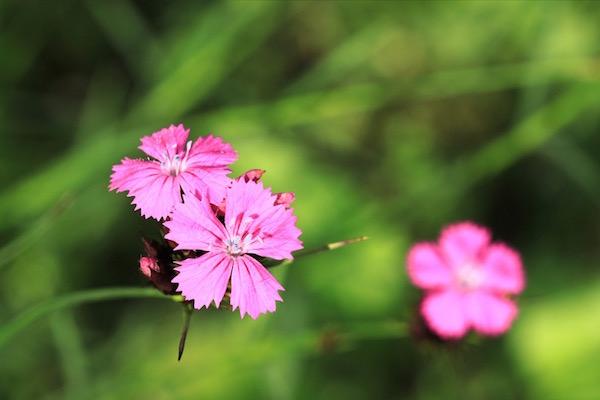 Barátszegfű (Dianthus carthusianorum) pink virágai.