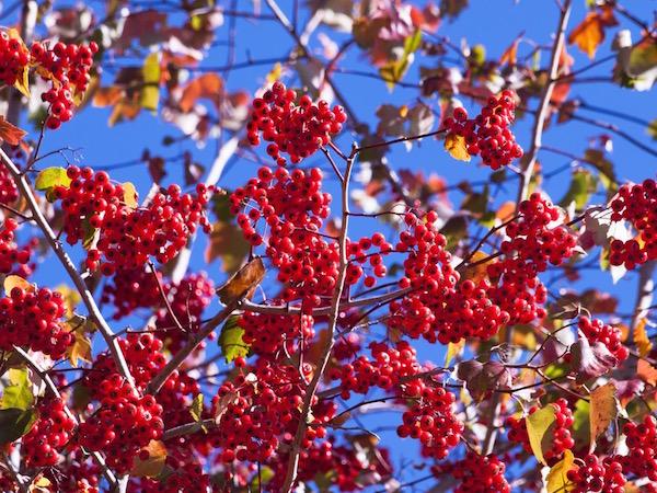 Őszi napsütésben, színes levelek között a galagonya piros bogyói.