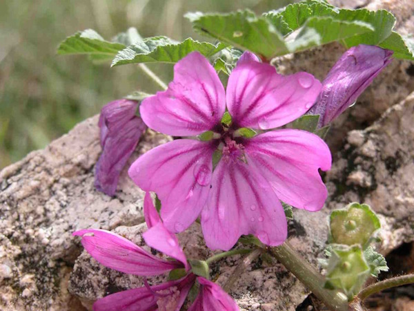 Papsajtmályva vagy közönséges mályva rózsaszínű virágai hajnali harmatcseppekkel.