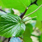 Egy különleges gyógynövény: kava kava