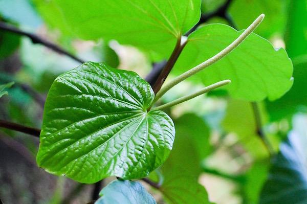 Kava kava, azaz Piper methysticum.