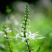 Egy varázslatos gyógynövény a messzi távolból: jávai tea