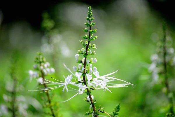 Jávai tea virágzata, melyet népesen macskabajusznak is hívnak.