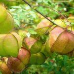 Ekcéma kezelése gyógynövényekkel, vagyis szívmaggal, tölgyfakéreggel, vadárvácskával