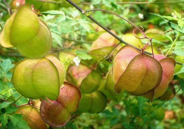 A szívmag (Cardiospermum halicacabum) nagyon hatásos az ekcéma kezelésénél.