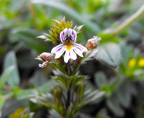 Szemvidítófű virága (Euphrasia officinalis).