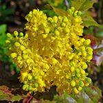 Közönséges mahónia (Mahonia aquifolium) sárga, fürtszerű virága.