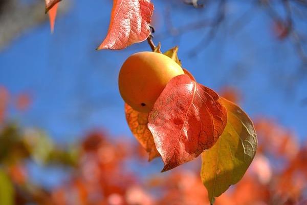 Datolyaszilva a fán késő ősszel, a levelek már színesek, sárgák és pirosak.