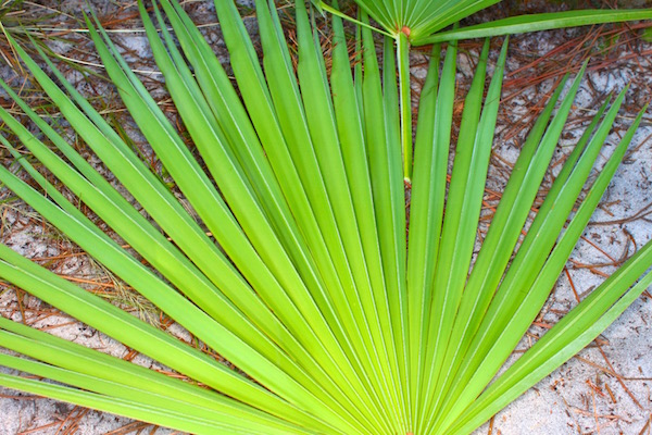 Fűrészpálma (Serenoa repens) szerteágazó levelei.