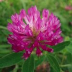Vöröshere, azaz Trifolium pratense lilás gombavirágzata.