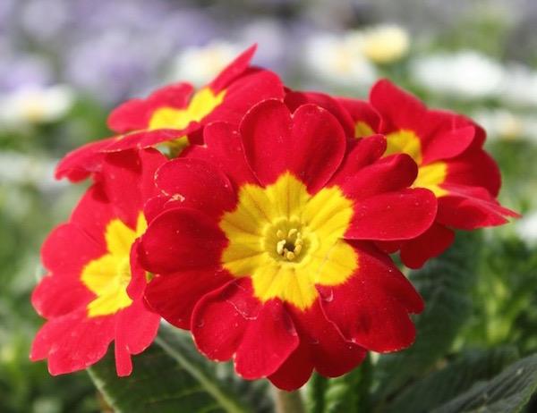 Primula, azaz kankalin gyönyörű, színes virága.