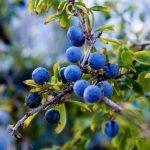 A flavonoidokban gazdag kökény