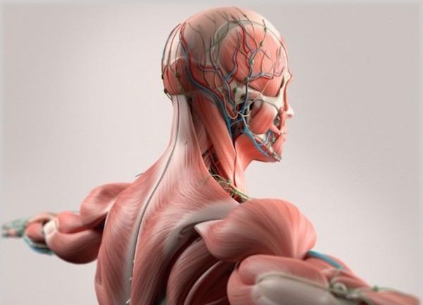 Idegpályák az emberi testen.