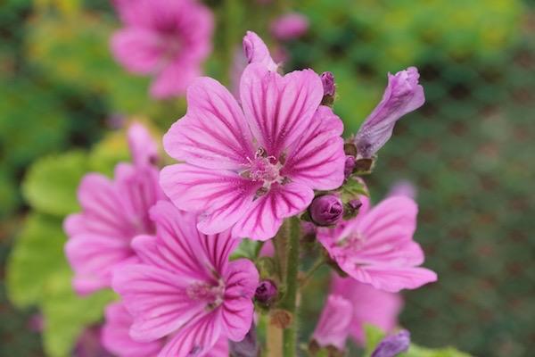 Erdei mályva (Malva sylvestris) gyönyörű rózsaszínű virága.