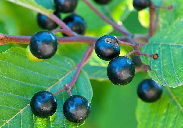 Kaszkarabokor (Rhamnus purshiana) bogyós termése.