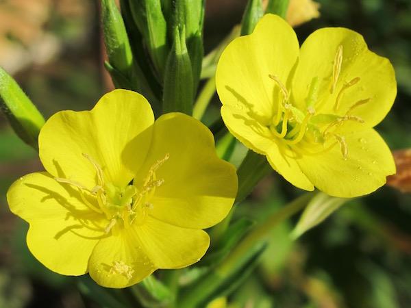 Parlagi ligetszépe (Oenothera biennis) gyönyörű sárga virágai.