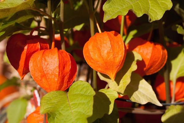 Ashwagandha nevű indiai gyógynövény érdekes termése.
