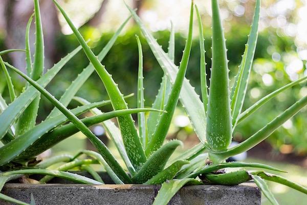 Virágládába ültetett Aloe vera.