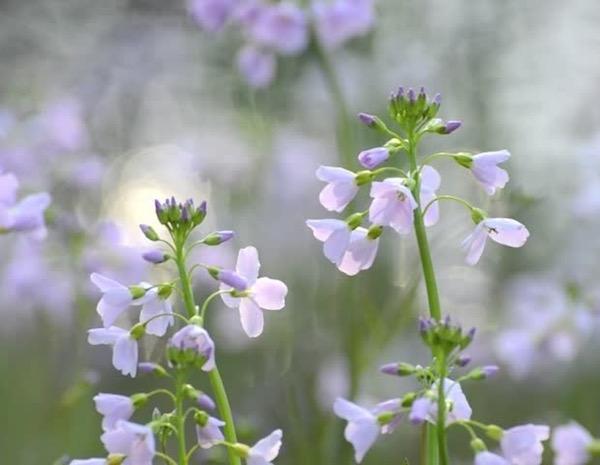Réti kakukktorma (Cardamine pratensis) gyönyörű apró virágai.