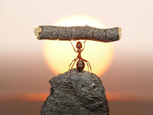 Hangya emel fel kövön állva a naplementében egy nagyon vastag fadarabot.