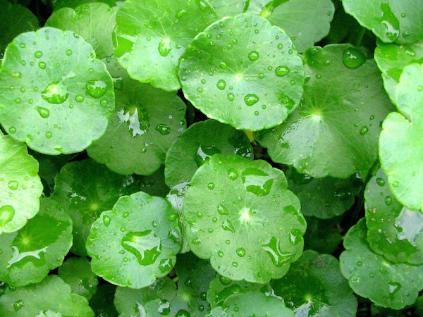 Ázsiai gázló (Centella asiatica) szétterülő levelei eső után.