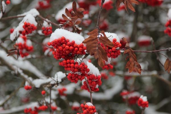 Madárberkenye piros bogyói télen, a rájuk esett hóval.