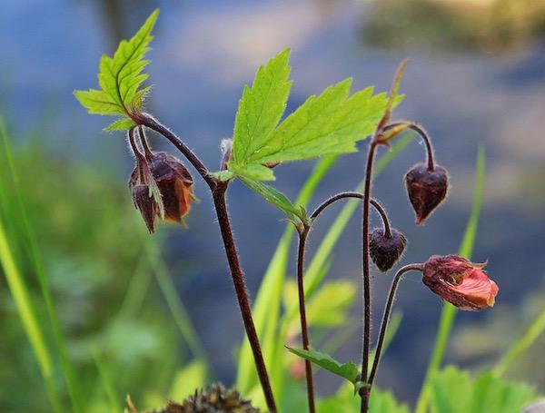 Bókoló gyömbérgyökér (Geum rivale) bimbós virága.