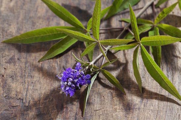 Barátcserje (Vitex agnus-castus) lila virága levelekkel együtt.