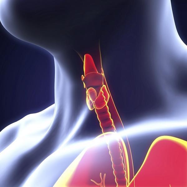 Az emberi testben a pajzsmirigy elhelyezkedése.