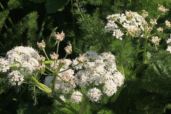 Medvekapor, azaz Meum athamanticum fehér virágai.
