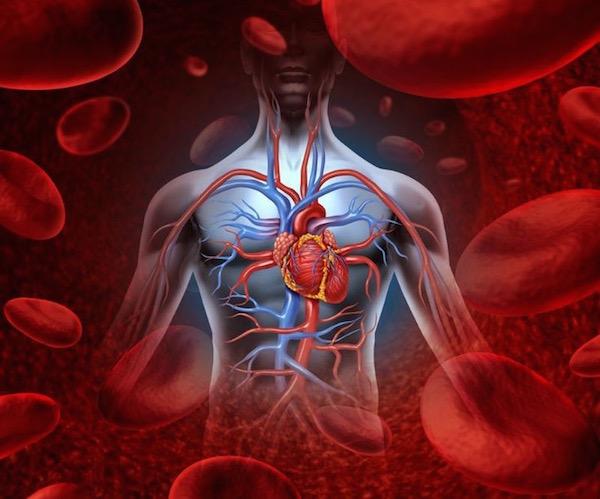 Vörös vértestek és az emberi test keringési rendszere.