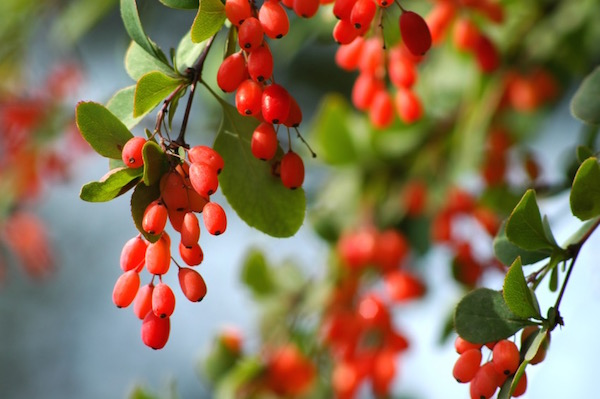Sóskaborbolya (Berberis vulgaris) gyönyörű piros, fürtökben lógó termései.