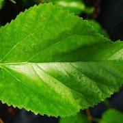 Eperfalevél-tea és -kivonat, a vércukorszint szabályozói