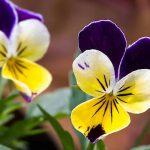 Viola tricolor, azaz a háromszínű árvácska közeli fotója.