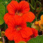 Az immunrendszert erősíti és védelmezi: sarkantyúka