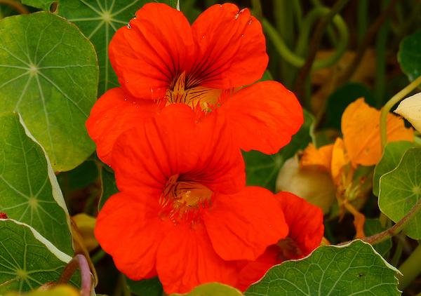 Kerti sarkantyúka tűzpiros virága.