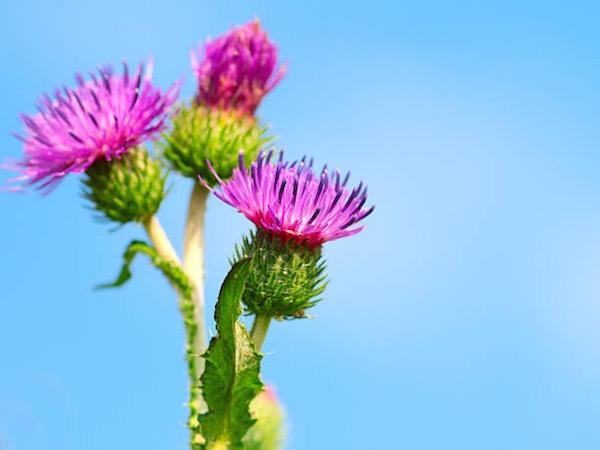 Közönséges bojtorján virága (Arctium lappa).
