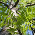 Az évszázadok óta elismert kőrisfa gyógyító hatásai
