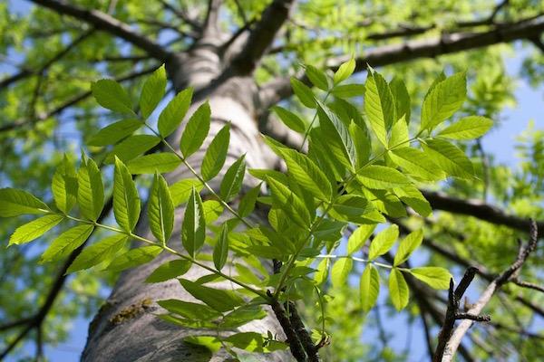 Kőrisfa leveles ágai.