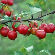 Gyümölcskocsonya a fanyar ízű vadalmából