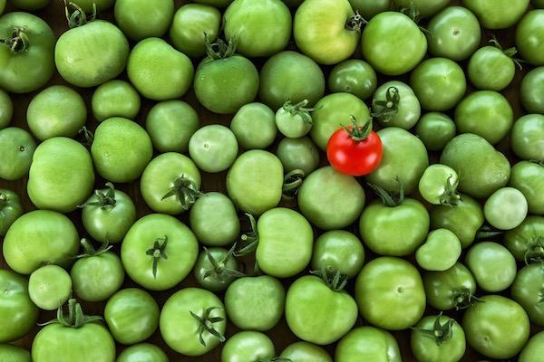Rengeteg zöldparadicsom között egy darab piros paradicsom.