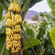 A banán mint gyógynövény?