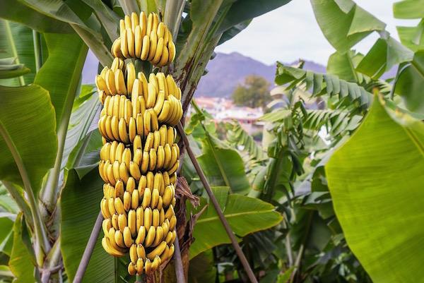 Rengeteg banánt termő banánfa.